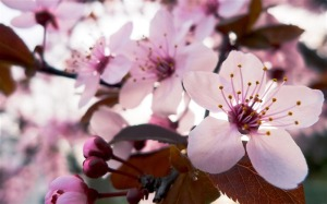 Beautiful_Japanese_cherry_blossom_season_wallpaper_16_medium